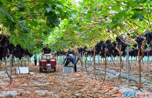 彭山区推动农业产业发展全域园区化,脱贫户们也品尝到了甜蜜的幸福味道