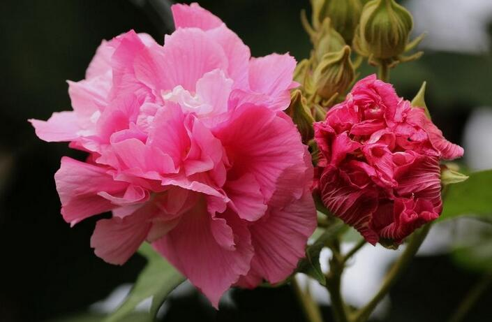 成都的市花是什么 一篇文章带你了解成都市市花