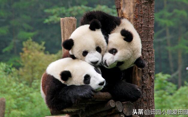 四川大熊猫栖息地——七个自然保护区 九个风景区